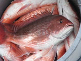 Red Snapper caught about a mile off-shore 20 miles west of Destin, Florida where the oil remained at a distance, for the time being.